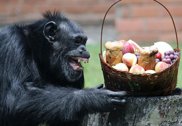 Yoko, a chimpanzee (Pan Troglodytes), reacts after receiving a Christmas hamper, at Rio de Janeiro's zoo on December 18, 2012.     AFP PHOTO /VANDERLEI ALMEIDA