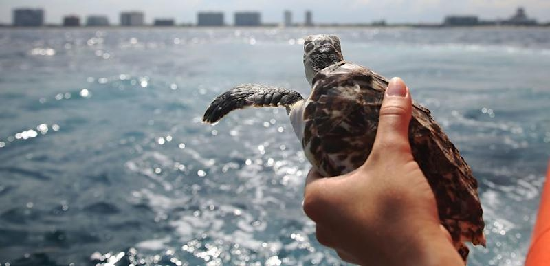 190 Sea Turtles Freeze To Death After Being Caught In 'Freak' Weather System Off Cape Cod