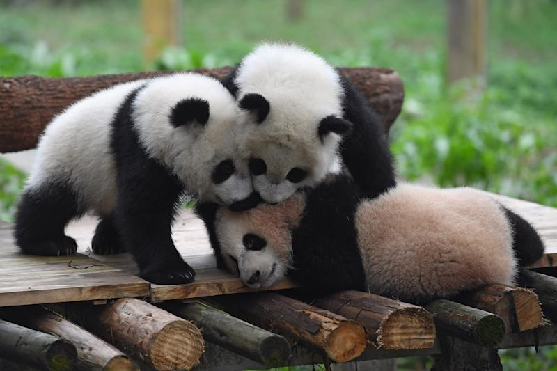 Cute creatures: The pandas have been named Yu Bao, Yu Bei and Lian Yue: Xinhua News Agency/Rex