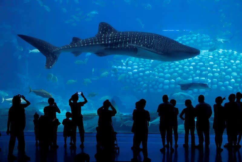 FILE PHOTO: Visitors watch a whale shark in Zhuhai