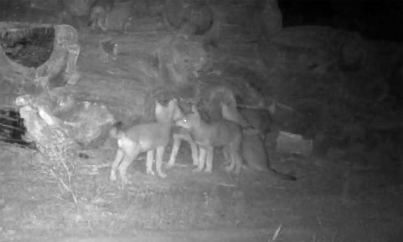 A screen capture shows wolf pups caught on a trail cam put up by biologists with the Confederated Tribes of Warm Springs.