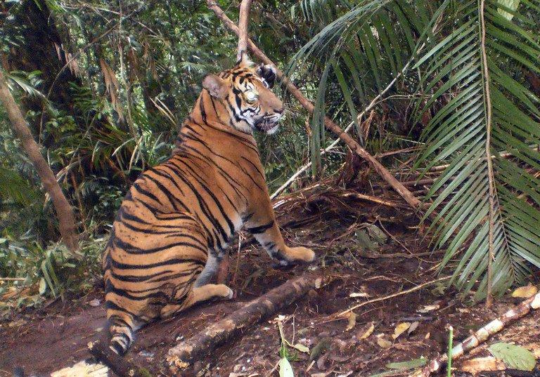 A trapped Sumatran tiger on Indonesia's Sumatra island on January 9, 2012