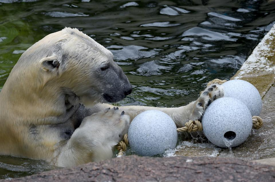 Polar bear Kap plays with a set of toys in his enclosure at the zoo in Neumuenster, Germany, 12 April 2016. Photo:Carsten Rehder/dpa | usage worldwide   (Photo by Carsten Rehder/picture alliance via Getty Images)