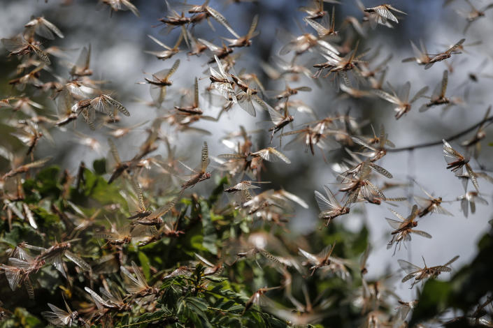 Swarms of locusts take flight after members of the National Youth Service sprayed pesticide on them in Elburgon, in Nakuru county, Kenya Wednesday, March 17, 2021. It's the beginning of the planting season in Kenya, but delayed rains have brought a small amount of optimism in the fight against the locusts, which pose an unprecedented risk to agriculture-based livelihoods and food security in the already fragile Horn of Africa region, as without rainfall the swarms will not breed. (AP Photo/Brian Inganga)
