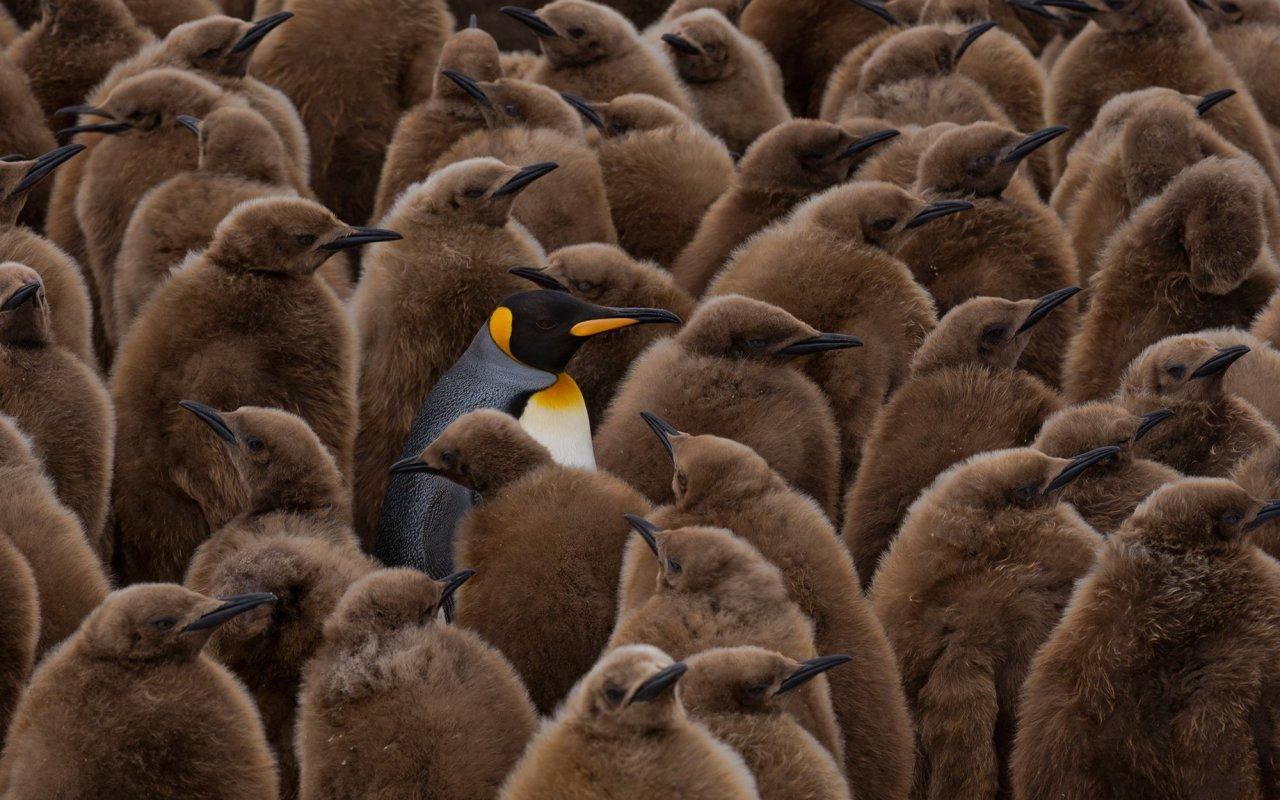 <p>Standing out from the crowd, this snap of a king penguin among a horde of females claimed runner up in the Weird and Wonderful category, captured in Salisbury Plain, South Georgia. (Image: ZSL/Mickie Reyfman)<br /><br /></p>