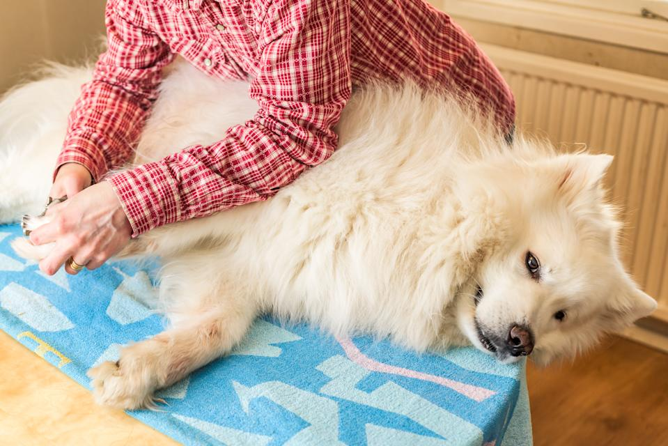 Close up of female handler cutting Samoyed dogs nails using a sharp dog nail clipper. Dog lying on towel on kitchen table.