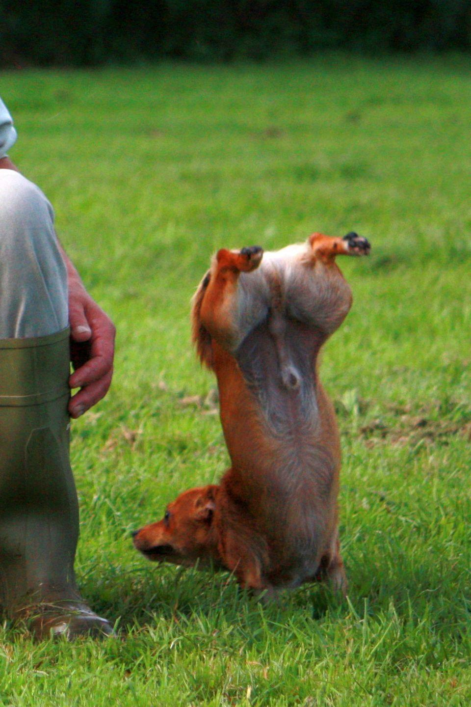 <p>Live footage of me trying to do downward facing dog. </p>