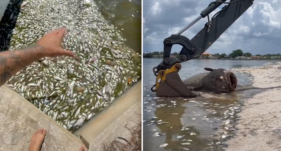Videos uploaded to social media highlight the masses of marine life killed by the red tide. Source: paulcuffaro / TikTok