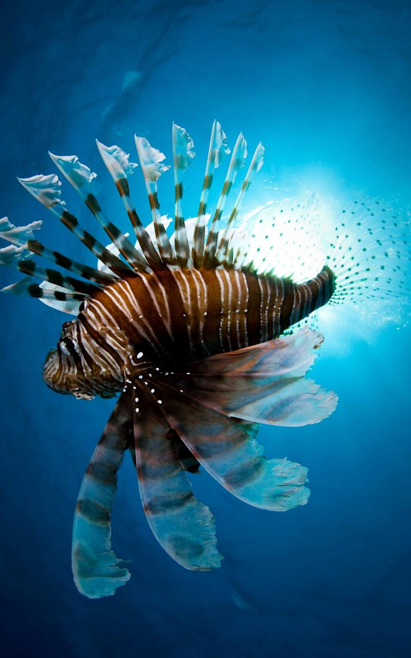 Lion fish swimming underwater - Credit:  Alamy
