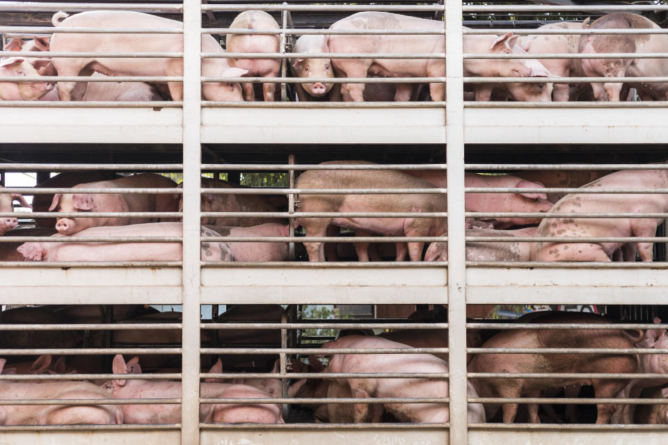 A NSW piggery is under investigation after video emerged of alleged unsanitary condition. Pictured is a file image of pigs on their way to market. Source: Getty