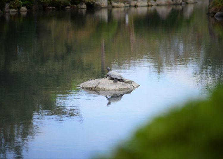 ▲A turtle sunbathing in the pond and beautiful koi swimming