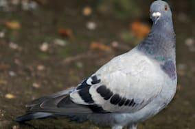 Pigeon Feral Pigeon (Columba livia) Common throughout the UK in villages and towns breeds throughout the year producing two or t