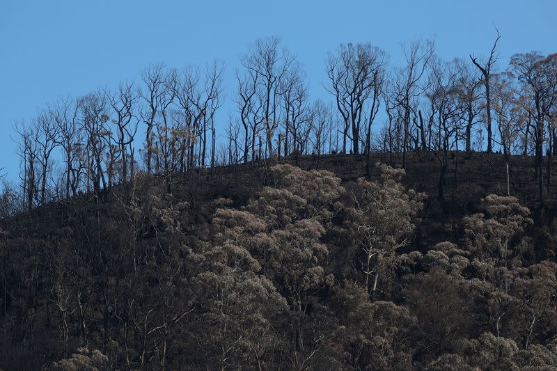Charred trees are pictured on a hill burnt during the recent bushfires near Kangaroo Valley