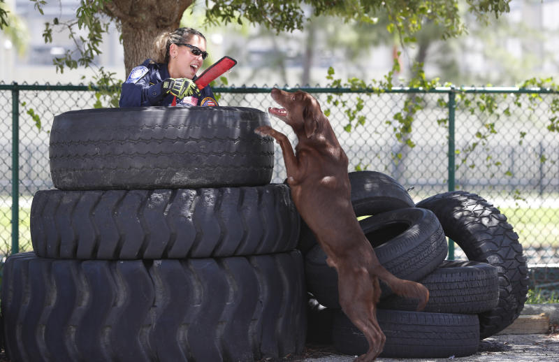Miami-Dade firefighter/paramedic Maggie Castro gives up and hands a toy to search-and-rescue dog Zeus after the chocolate Labrador found her hiding in a stack of tires during a demonstration, Wednesday, June 19, 2019, at the Miami-Dade Fire Rescue Training Facility in Miami. Specializing in urban search and rescue, the Miami-based, 210-personnel Florida Task Force 1 have responded to numerous disasters, including the Florida Panhandle after Hurricane Michael and in Haiti after the 2010 earthquake. (AP Photo/Wilfredo Lee)