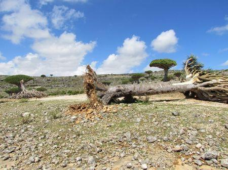 A dragon blood tree lies on the ground after a cyclone uprooted it in Yemen's Socotra island