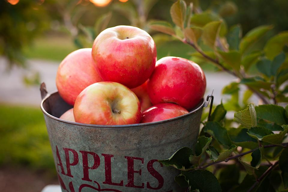 Apples in metal picking bucket in apple orchard up close