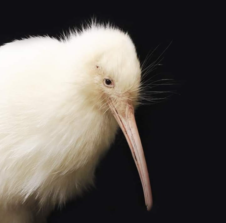 Manukura (post Instagram account Pūkaha National Wildlife Centre)