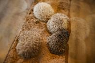 Hedgehogs sit in a glass enclosure at the Harry hedgehog cafe in Tokyo, Japan, April 5, 2016. In a new animal-themed cafe, 20 to 30 hedgehogs of different breeds scrabble and snooze in glass tanks in Tokyo's Roppongi entertainment district. Customers have been queuing to play with the prickly mammals, which have long been sold in Japan as pets. The cafe's name Harry alludes to the Japanese word for hedgehog, harinezumi. REUTERS/Thomas Peter