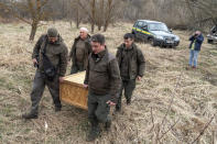 Denis Vishnevskiy, chief of the unit of the Chernobyl Radiation and Ecological Biosphere Reserve, foreground right, and his colleagues carry a box with a beaver preparing to release it into a forest at the Chernobyl exclusion zone, Ukraine, Tuesday, April 13, 2021. To the surprise of many who expected the area might be a dead zone for centuries, wildlife is thriving: bears, bison, wolves, lynx, wild horses and dozens of bird species. According to scientists, the animals were much more resistant to radiation than expected, and were able to quickly adapt to strong radiation. (AP Photo/Evgeniy Maloletka)