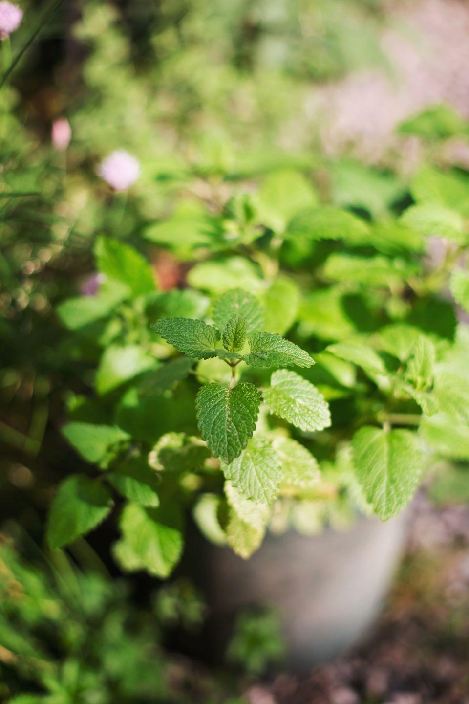 """<p>Because mint grows almost like a weed, you'll want to plant it in a container first. Then, submerge the entire pot to ground level to contain its growth. Mint comes in many different flavors including spearmint, chocolate mint, and apple mint. It's excellent in iced tea, cocktails, and baked goods.</p><p><a class=""""link rapid-noclick-resp"""" href=""""https://www.amazon.com/Sow-Right-Seeds-Instructions-Gardening/dp/B07VXS9QR9/ref=asc_df_B07VXS9QR9/?tag=syn-yahoo-20&linkCode=df0&hvadid=385169514948&hvadid=385169514948&hvnetw=g&hvnetw=g&hvrand=3922437393487316408&hvrand=3922437393487316408&hvdev=c&hvdev=c&hvlocphy=9051781&hvlocphy=9051781&hvtargid=pla-838344744850&hvtargid=pla-838344744850&psc=1&adgrpid=80078690138&ascsubtag=%5Bartid%7C2164.g.36533467%5Bsrc%7Cyahoo-us"""" rel=""""nofollow noopener"""" target=""""_blank"""" data-ylk=""""slk:SHOP NOW"""">SHOP NOW</a></p>"""