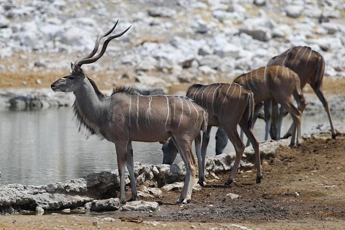 A group of kudu keep an eye out for predators while drinking at the Olifansbad water hole. (Photo: Gordon Donovan/Yahoo News)