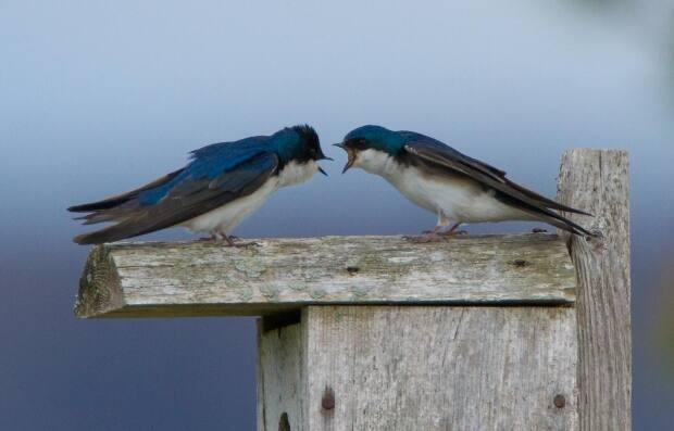 Clavette says tree swallow boxes like this one will be going up soon at the University of Moncton campus.