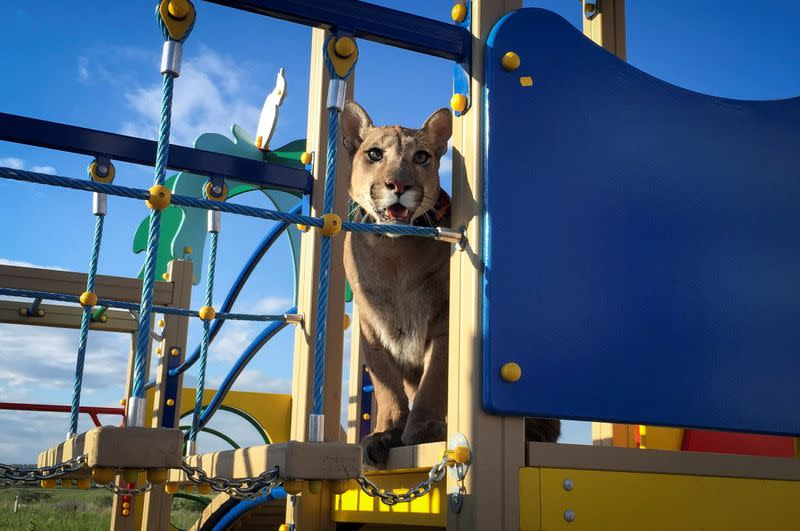 FILE PHOTO: Messi, a two-year-eight-month-old cougar, the family pet of Maria and Aleksandr Dmitriev, looks on at a children play ground in the town of Penza