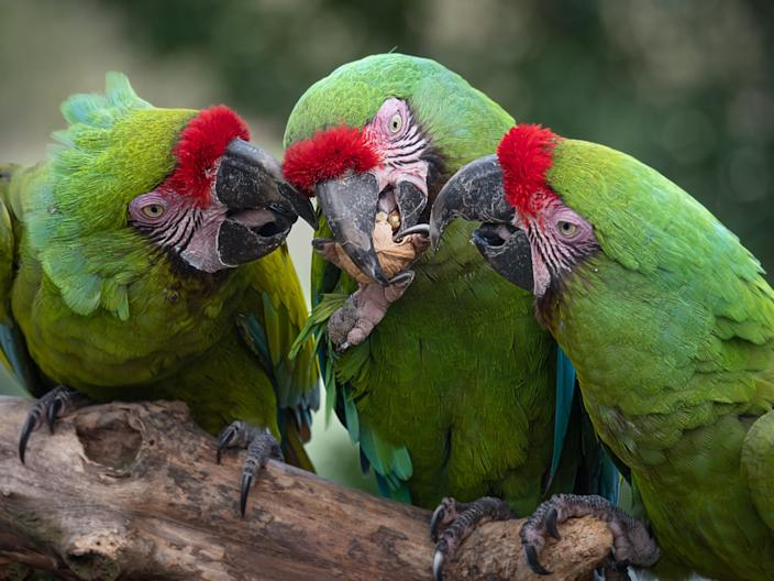 The Great Green Macaw can be found in the Americas.
