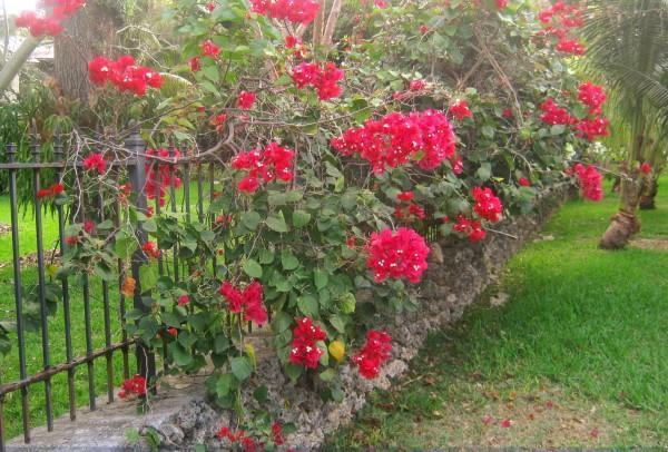 """<p>This tropical vine will be consumed with bright, <a href=""""https://www.southernliving.com/plants/bougainvillea"""" rel=""""nofollow noopener"""" target=""""_blank"""" data-ylk=""""slk:tissue-paper-esque blooms"""" class=""""link rapid-noclick-resp"""">tissue-paper-esque blooms</a> during the fall and cooler spring months. If you're looking for a summertime stunner, bougainvillea isn't your girl. They're another variety that is best for sturdy boxes such as brick or stucco versions. Place a trellis on either side of the mailbox and tie them to the structure as they grow.</p>"""