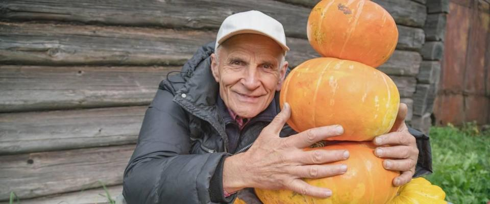 old elderly mature farmer with a smile on his face hugs a bunch of pumpkins, harvesting concept