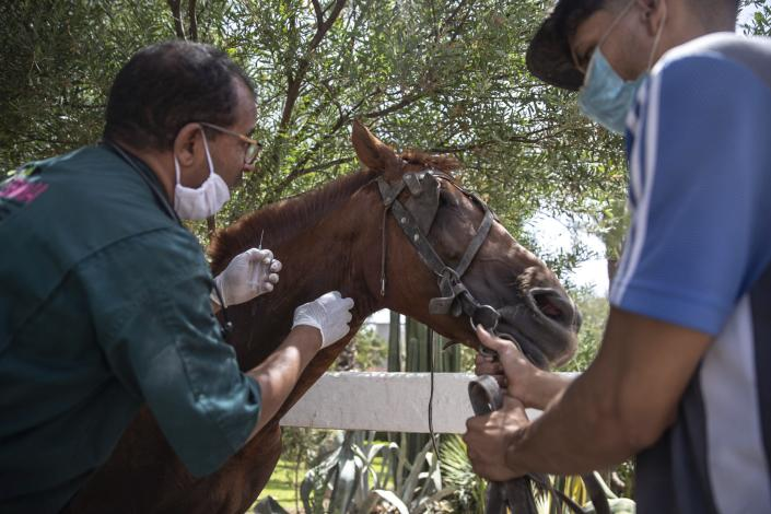 A doctor inspects a sick horse at the SPANA shelter in Marrakech, Morocco, Wednesday, July 22, 2020. Morocco's restrictions to counter the coronavirus pandemic have taken a toll on the carriage horses in the tourist mecca of Marrakech. Some owners struggle to feed them, and an animal protection group says hundreds of Morocco's horses and donkeys face starvation amid the collapsing tourism industry. (AP Photo/Mosa'ab Elshamy)