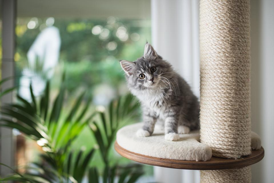 blue tabby maine coon kitten standing on cat furniture platform looking at the camera in front of a garden