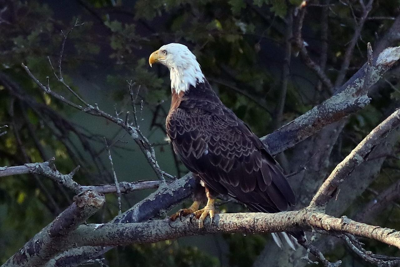 """<p>The bald eagle (<em>Haliaeetus leucocephalus</em>) is touted as the Endangered Species Act's crowning jewel. According to the <a href=""""https://www.fws.gov/midwest/eagle/history/index.html"""" target=""""_blank"""">U.S. Fish and Wildlife Service</a>, the bald eagle nearly went extinct forty years ago.</p><p>""""Habitat destruction and degradation, illegal shooting, and contaminated food sources decimated the eagle population,"""" <a href=""""https://www.fws.gov/midwest/eagle/history/index.html"""" target=""""_blank"""">says</a> U.S. Fish and Wildlife. In 1972, Eagles were given protection under the Migratory Bird Treaty Act and a year later, when the Act was put into effect, bald eagles were added to the endangered list.</p><p>1982 saw the introduction of the <a href=""""https://ecos.fws.gov/docs/recovery_plan/0604192.pdf"""" target=""""_blank"""">Southwestern Bald Eagle Recovery Plan</a>, which increased populations by tracking their breeding and migration patterns, sources of food, and assessing unnatural disturbances such as the pesticide DDT.</p><p>In 1995, bald eagles went from endangered to threatened and in 1999, U.S. Fish and Wildlife proposed delisting the species entirely thanks to increased population numbers. Finally, in the summer of 2007, <a href=""""https://www.fws.gov/midwest/eagle/history/index.html"""" target=""""_blank"""">the bald eagle was removed from the Threatened and Endangered Species list</a>.</p><p>The Act designated protected habitats in order to help eagle populations grow—without it, the national bird once again faces endangerment.</p>"""