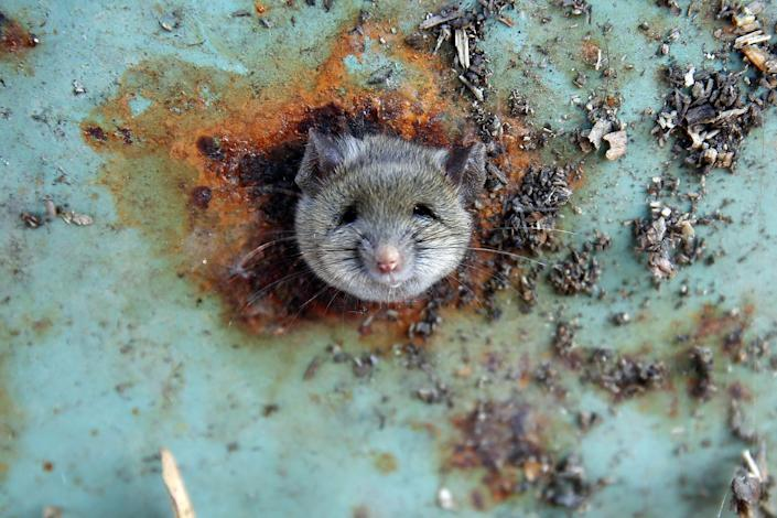 <p>A rat's head rests as it is constricted in an opening in the bottom of a garbage can in the Brooklyn borough of New York, October 18, 2016. (REUTERS/Lucas Jackson) </p>