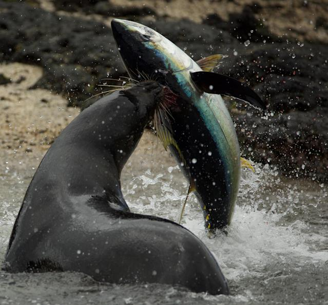 A Galapagos sea lion attacks a yellowfin tuna it has driven inshore. This hunting strategy only happens on the Galapagos and had never been filmed before. (Photo: Richard Wollacombe/BBC)