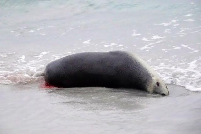 A dead sea lion lies at the edge of the water on the sand. A small amount of blood is flowing onto the sand.