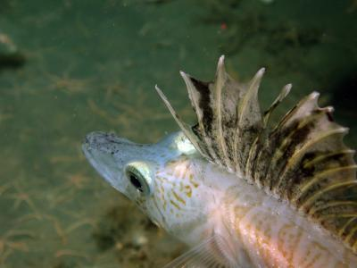 An icefish caught on camera at the Antarctic seafloor