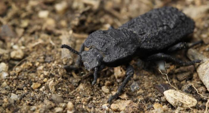 Check out the beetle that can survive being run over by a car