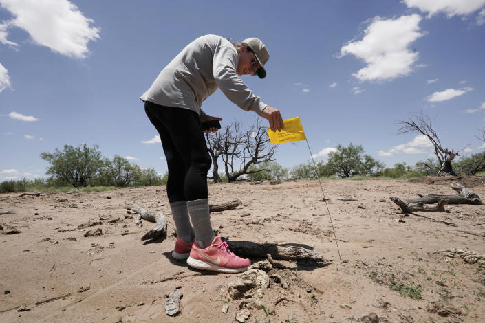 """Ashley Williams Watt looks at a flag Friday, July 9, 2021, near Crane, Texas, marking a spot where soil samples were taken at her ranch by one of the biggest spills she's found. She calls it the """"elephant graveyard,"""" named for a barren wasteland in the movie """"The Lion King."""" Rather than hulking animal bones, her version of the graveyard contains the blackened skeletons of mesquite trees. The sand there is dark and reeks of oil. (AP Photo/Eric Gay)"""