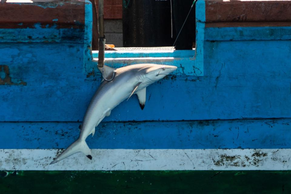<p>A fishing boat hauls in a silky shark in the Indian Ocean on 11 April</p> (Laurel Chor / Greenpeace)