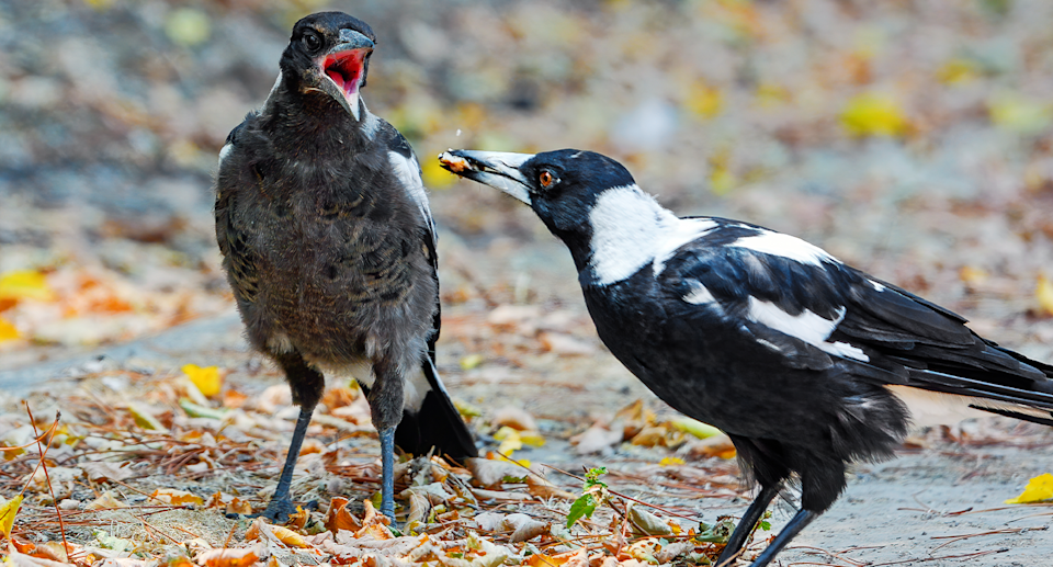 Magpies are dedicated parents who can be trained not to harm people, Gisela Kaplan argues. Source: Getty