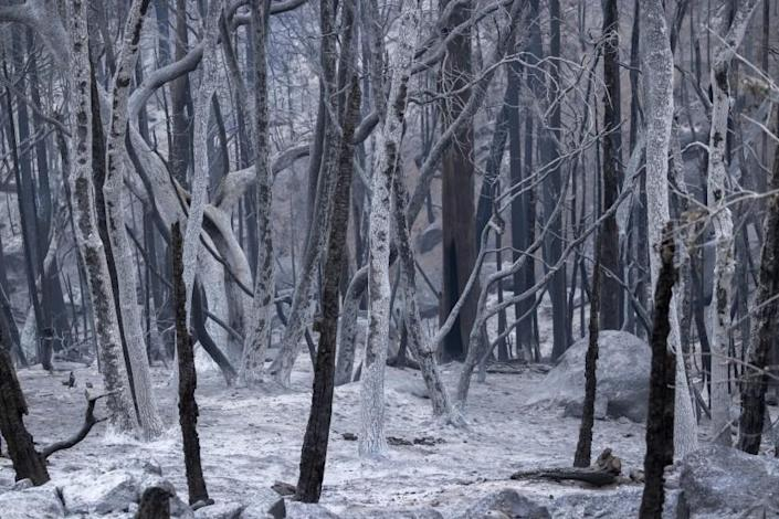 CALIFORNIA HOT SPRINGS, CA - SEPTEMBER 27: A forest of ashen trees appear as if in a winter scene in the wake of flames as the Windy Fire continues tp spread on September 27, 2021 south of California Hot Springs, California. The wildfire has burned through numerous groves of giant sequoia trees and is now threatening small communities scattered throughout the Southern Sierra foothills in Sequoia National Forest, south of Sequoia National Park and Giant Sequoia National Monument. The lightning-caused fire has expanded to more than 82,000 acres and is two percent contained. (Photo by David McNew/Getty Images)