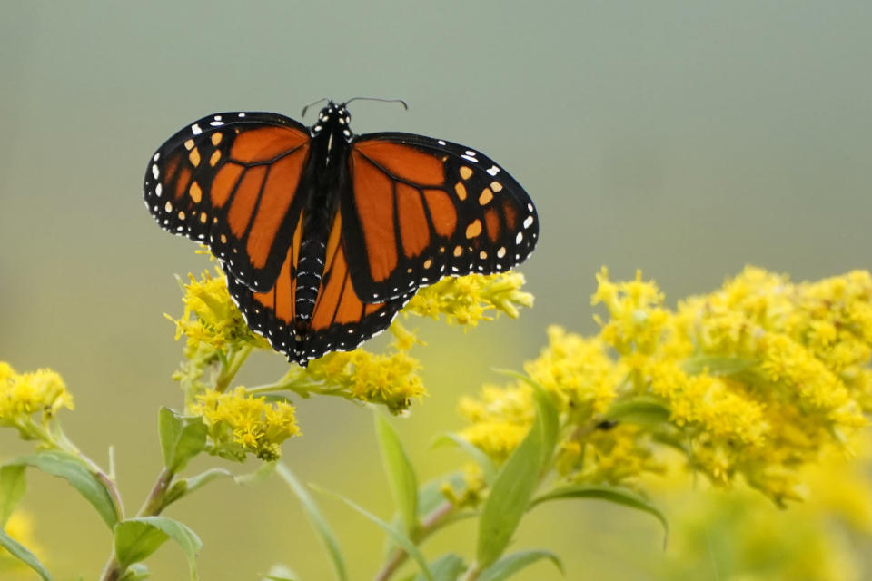 FILE - In this Sept. 11, 2020 file photo, a Monarch butterfly pauses in a field of Goldenrod at the Flight 93 National Memorial in Shanksville, Pa. In scientific papers released Monday, Jan. 11, 2021, scientists say they worry that the world is losing about 1% or 2% of its insects each year to climate change, insecticides, herbicide, land use changes, invasive species and light pollution. Monarch butterflies are among well known species that best illustrate insect problems and declines, according to University of Connecticut entomologist David Wagner, lead author in the special package of studies written by 56 scientists from around the globe. (AP Photo/Gene J. Puskar)