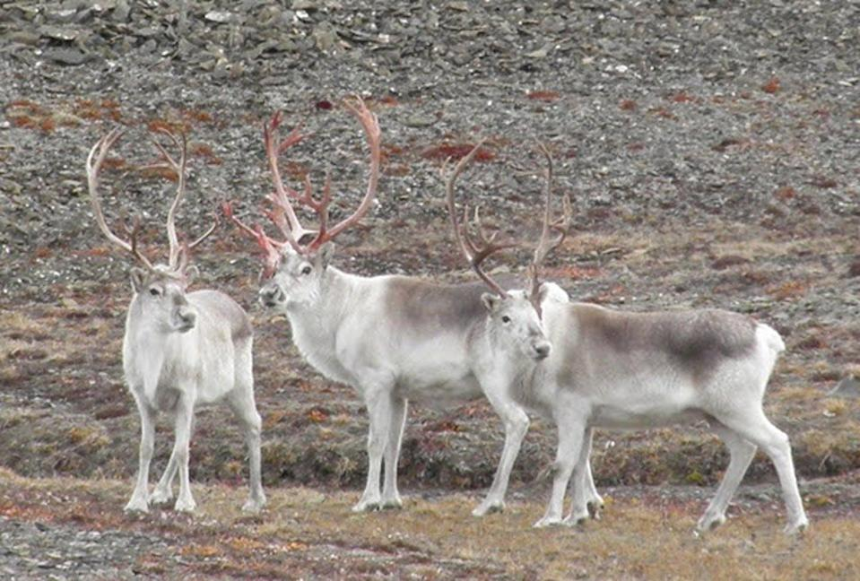 Peary caribou standing on the tundra