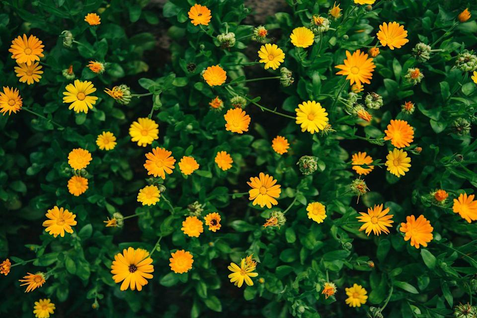 <p>These perennials are a lovely choice for creating a butterfly garden for those in USDA Hardiness Zones 9-11 and they fare well as annuals for those in all zones. They will constantly bloom from late spring through the early fall with frequent dead-heading.</p>