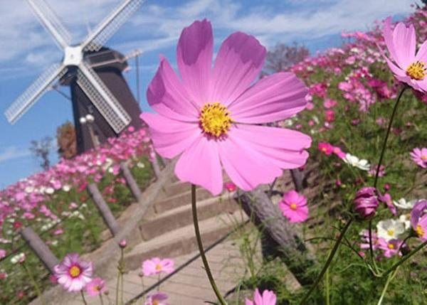 ▲The cosmos blowing in the autumn breeze are a lovely sight. (Best time to see cosmos in Osaka: late October to late November)