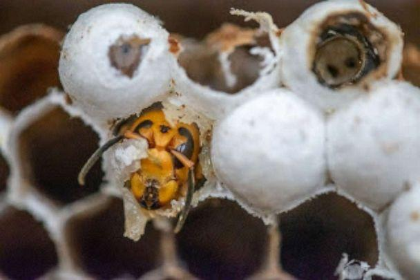 PHOTO: Asian hornet nest. (Washington State Department of Agriculture)