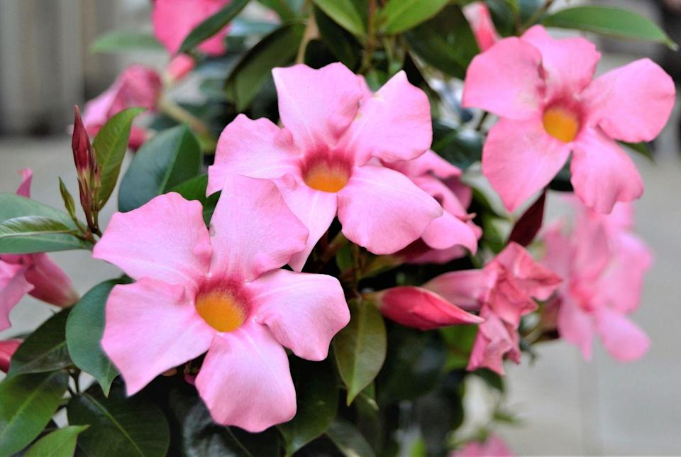 """<p>In search of a flowering plant to grow up a lattice or fence? Mandevilla's are a good option, and as long as they have some shade throughout the day, they should thrive.</p><p><a class=""""link rapid-noclick-resp"""" href=""""https://www.amazon.com/Elwyn-100pcs-Climbing-Mandevilla-Sanderi/dp/B08T1V2ZGQ/ref=sr_1_2?dchild=1&keywords=mandevilla+seeds&qid=1620331342&sr=8-2&tag=syn-yahoo-20&ascsubtag=%5Bartid%7C10070.g.36355297%5Bsrc%7Cyahoo-us"""" rel=""""nofollow noopener"""" target=""""_blank"""" data-ylk=""""slk:Buy mandevilla seeds."""">Buy mandevilla seeds. </a></p>"""