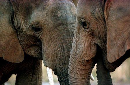 A pair of elephants are seen at a park in Knysna, South Africa, July 12, 1999.  REUTERS/Mike Hutchings/File Photo