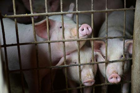 FILE PHOTO: Pigs are seen at a family farm in Fuyang, Anhui